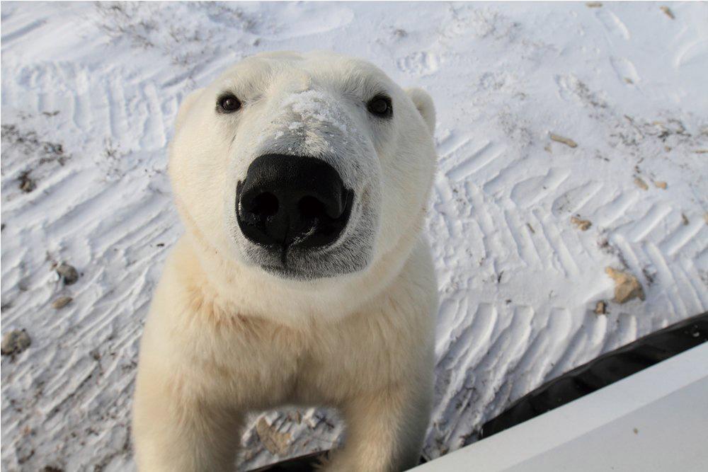 Natural Habitat Adventures/邱吉爾鎮/加拿大/旅遊/北極熊