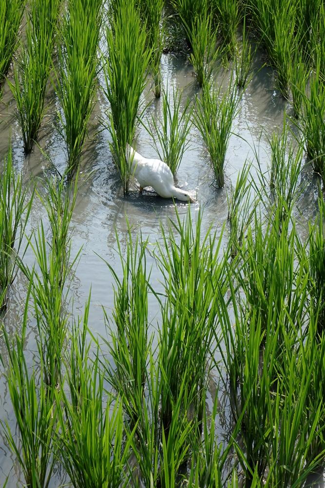 山水米有機稻場