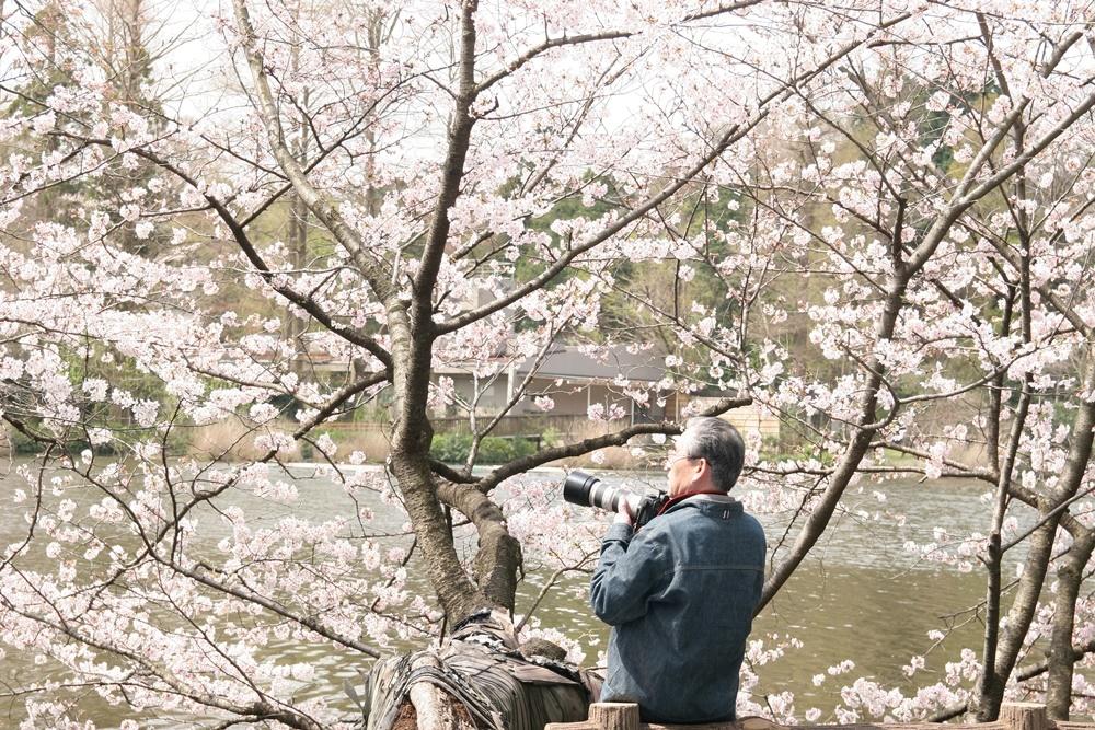 井の頭恩賜公園/羽村市/日本/賞櫻