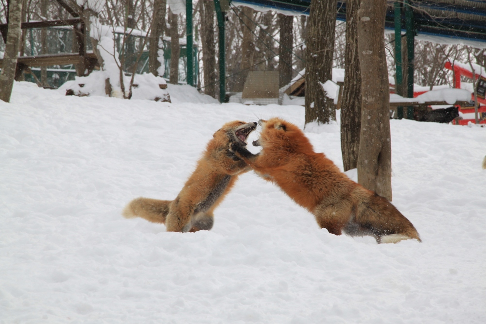 宮城藏王狐狸村