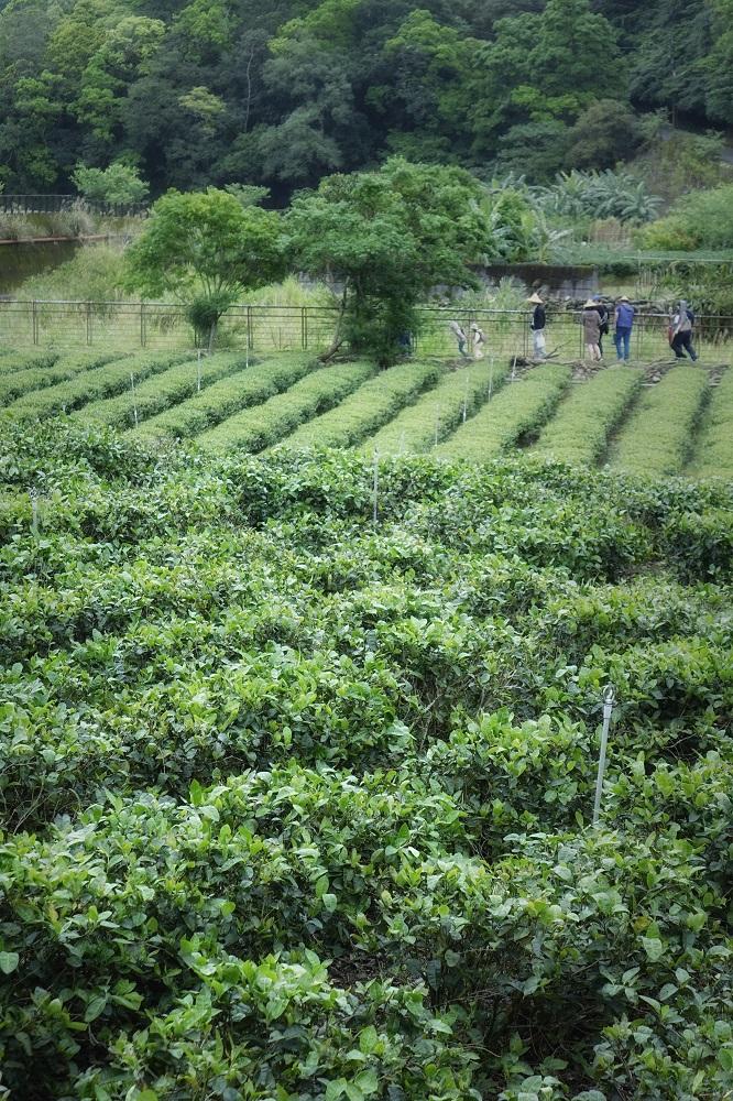 跟著金瓜三號漫步坪林茶鄉
