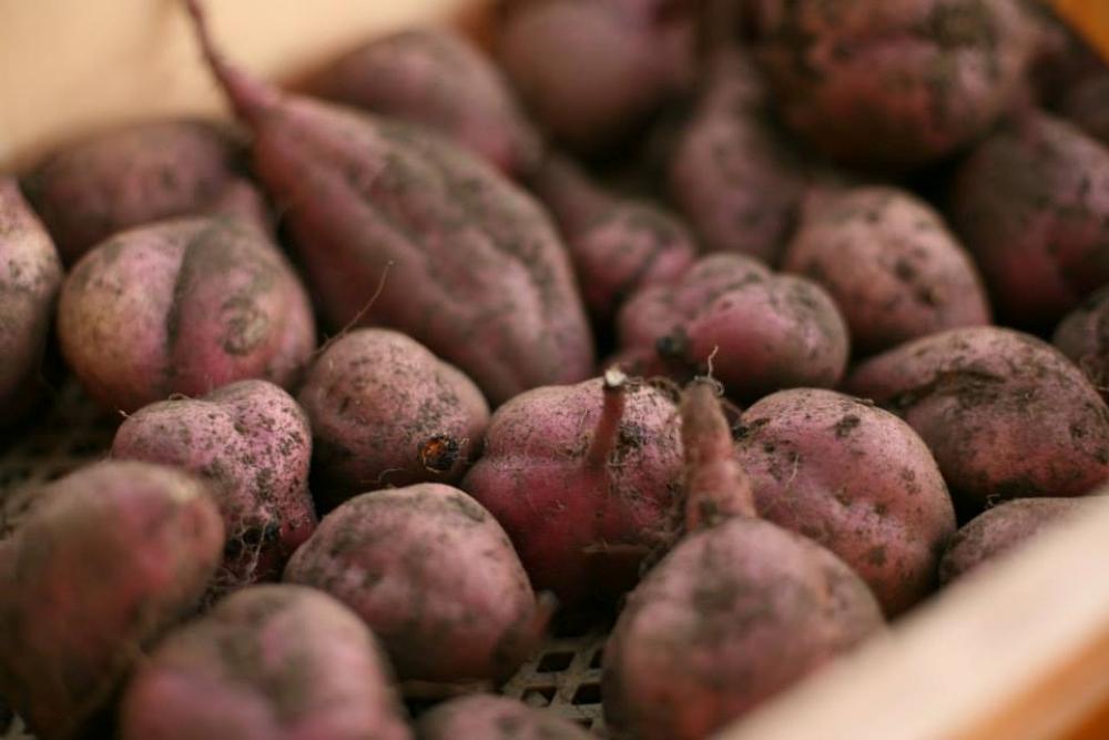 日本/富士山/農作體驗/採收野菜/D&DEPARTMENT SHIZUOKA
