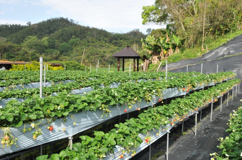 草莓園/山頂果園農場/大湖/苗栗/臺灣
