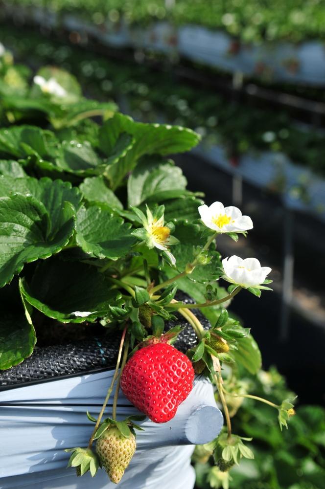 草莓/山頂果園農場/大湖/苗栗/臺灣