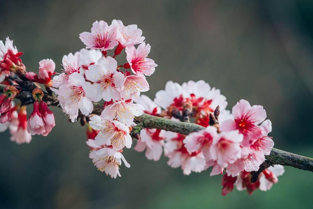 苗栗/山櫻花/清安豆腐街/祕境