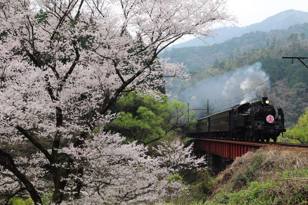 賞櫻鐵道/大井川鐵道SL蒸氣機關車/日本