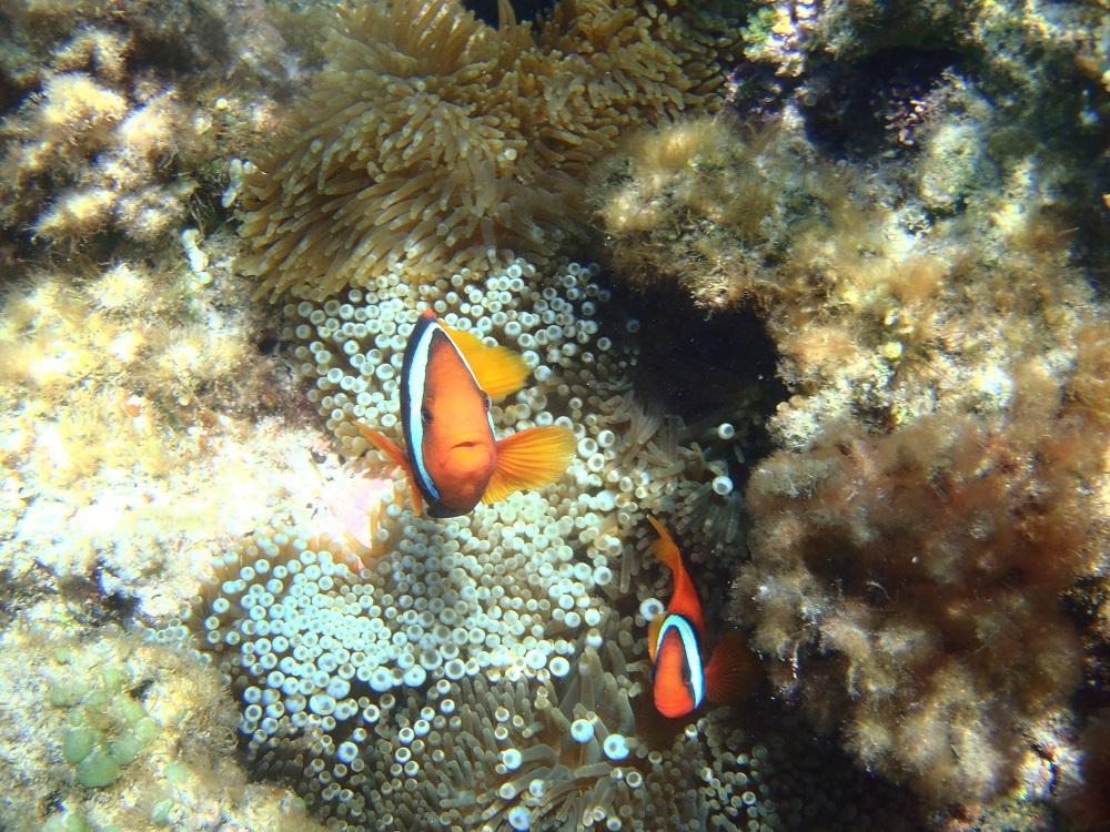小丑魚/渡嘉敷島/沖繩/日本