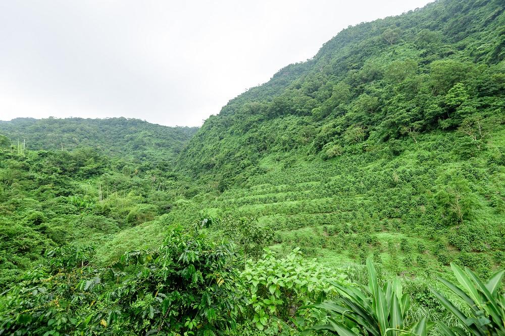 咖啡樹/大武山/泰武/台灣
