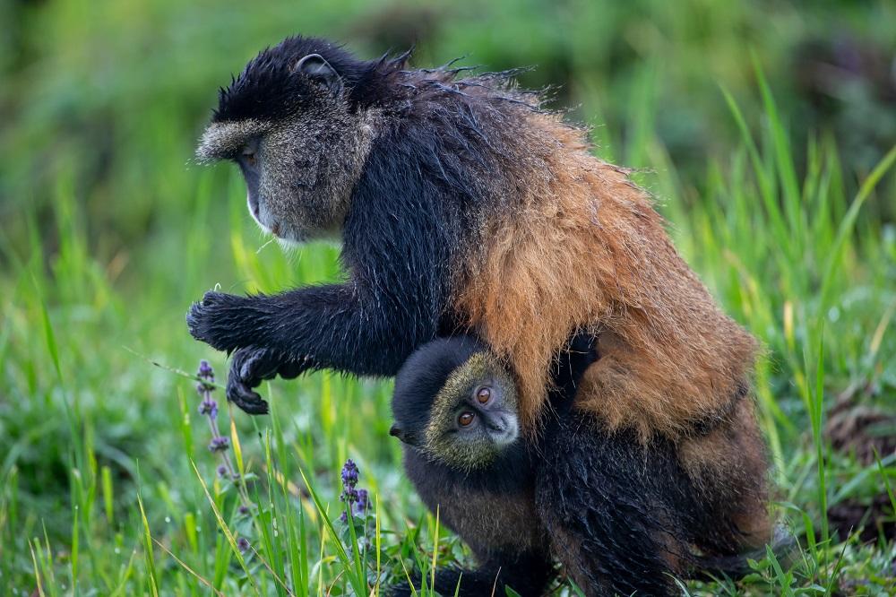 Singita/非洲/盧安達/荒野保護區/猩猩/瀕危/原始自然