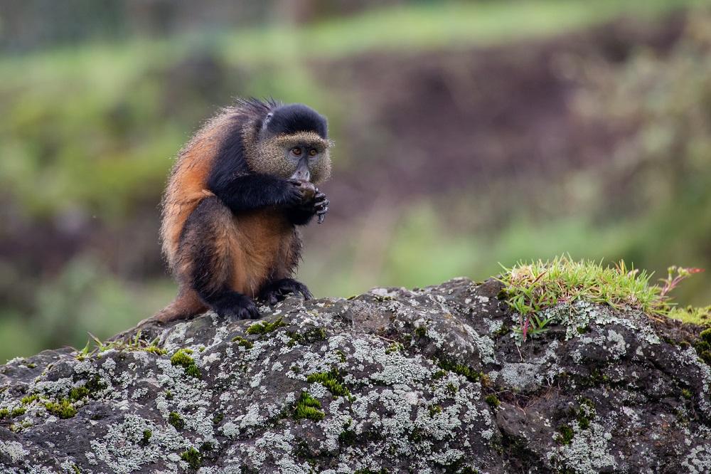 Singita/非洲/盧安達/荒野保護區/猩猩/保育/原始自然