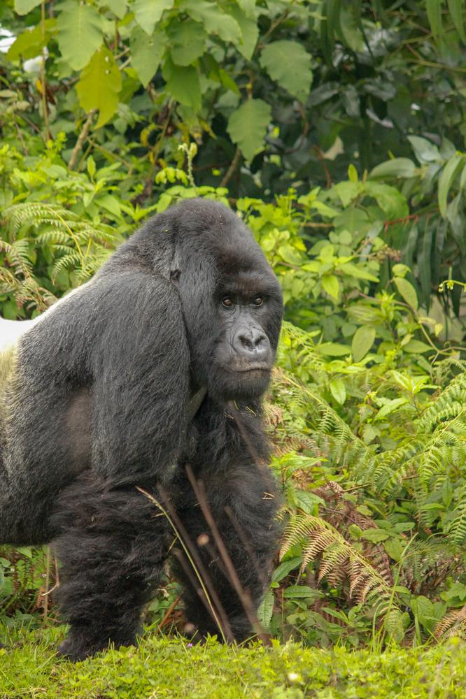 Singita/火山國家公園/盧安達/旅遊/非洲獵遊/大猩猩