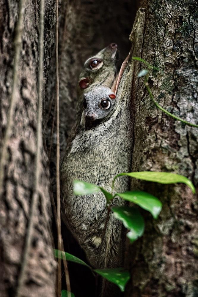The Datai Langkawi/馬來西亞/熱帶雨林/飛鼠/野生動物