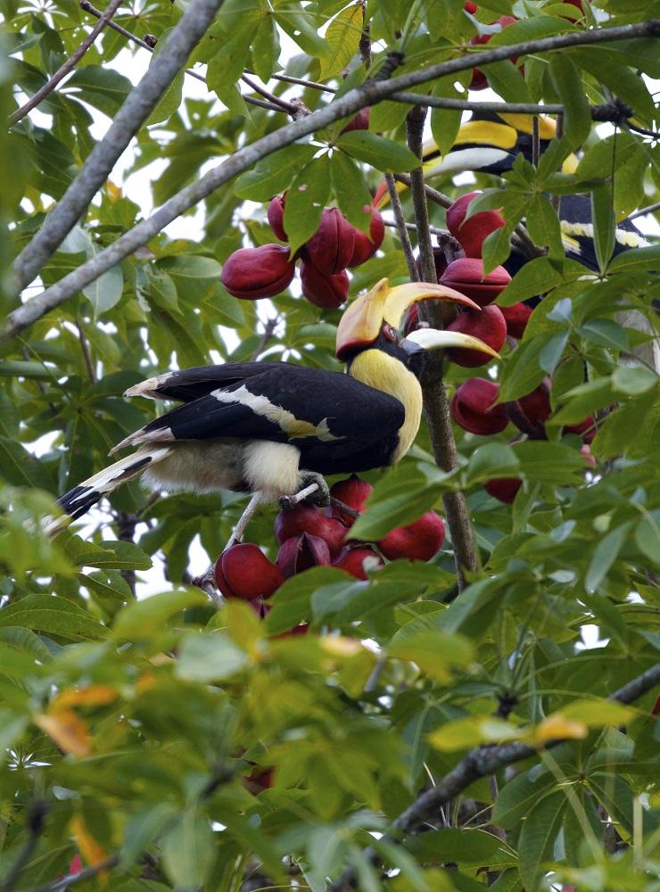 The Datai Langkawi/馬來西亞/熱帶雨林/樹冠步道/野鳥/覓食
