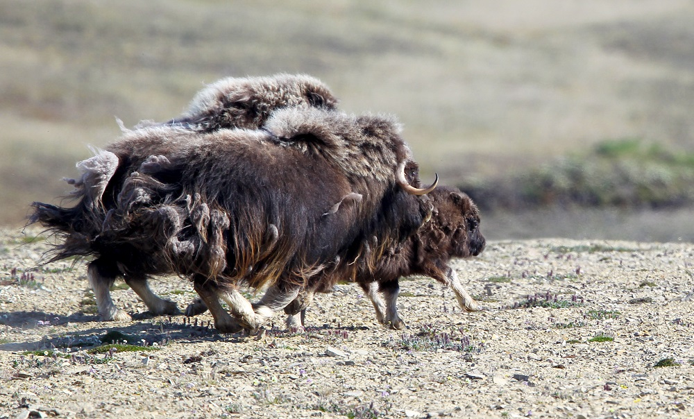 Northwest Passage Marathon/西北航道馬拉松/加拿大/麝牛