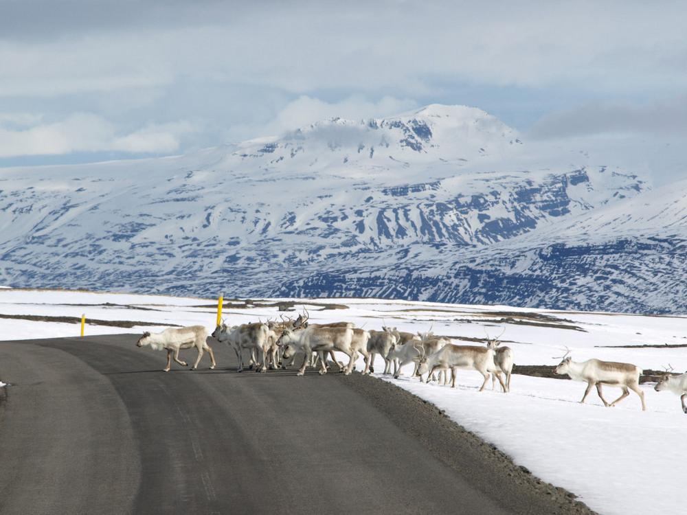 Snæfell/冰河國家公園/冰島/旅遊/世界遺產/馴鹿
