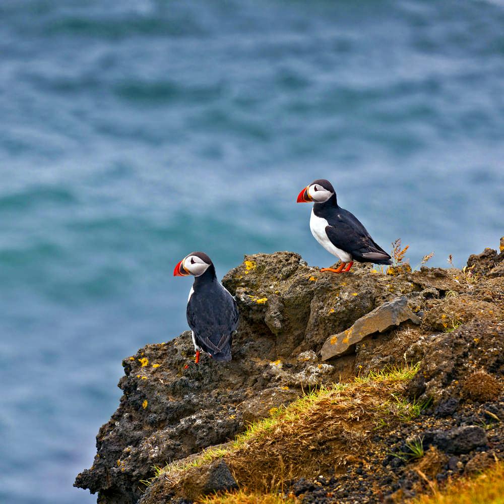 Hornstrandir/冰島/西峽灣/長跑/極限運動/歐洲最後的荒野/海鸚