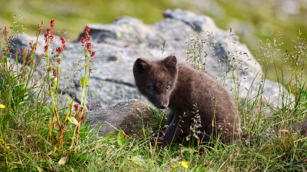 Hornstrandir/冰島/西峽灣/長跑/極限運動/歐洲最後的荒野/北極狐