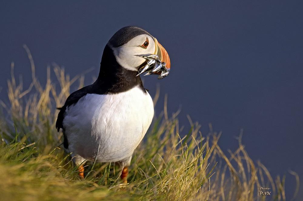 北極海岸公路/冰島自駕/歐洲最佳旅行地點/Grímsey Island/海鳥