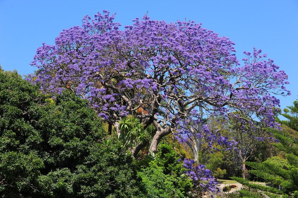 藍花楹/雪梨/澳洲