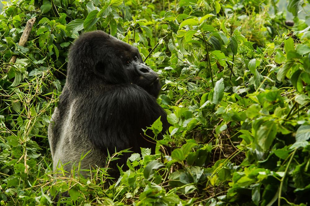 非洲獵遊/盧安達/阿聯酋航空/ROAR AFRICA/火山國家公園/大猩猩