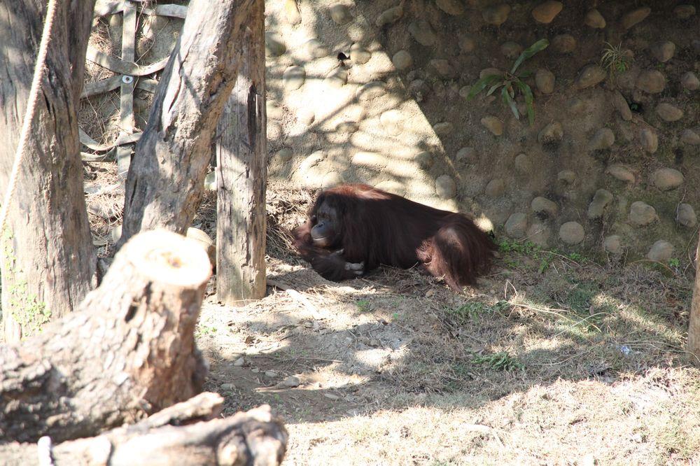新竹動物園/紅毛猩猩