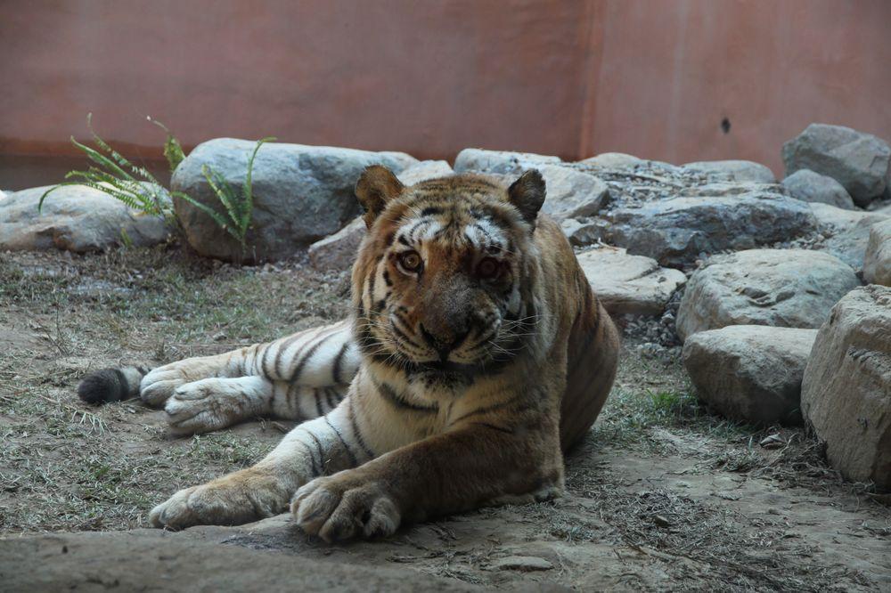 新竹動物園/孟加拉虎