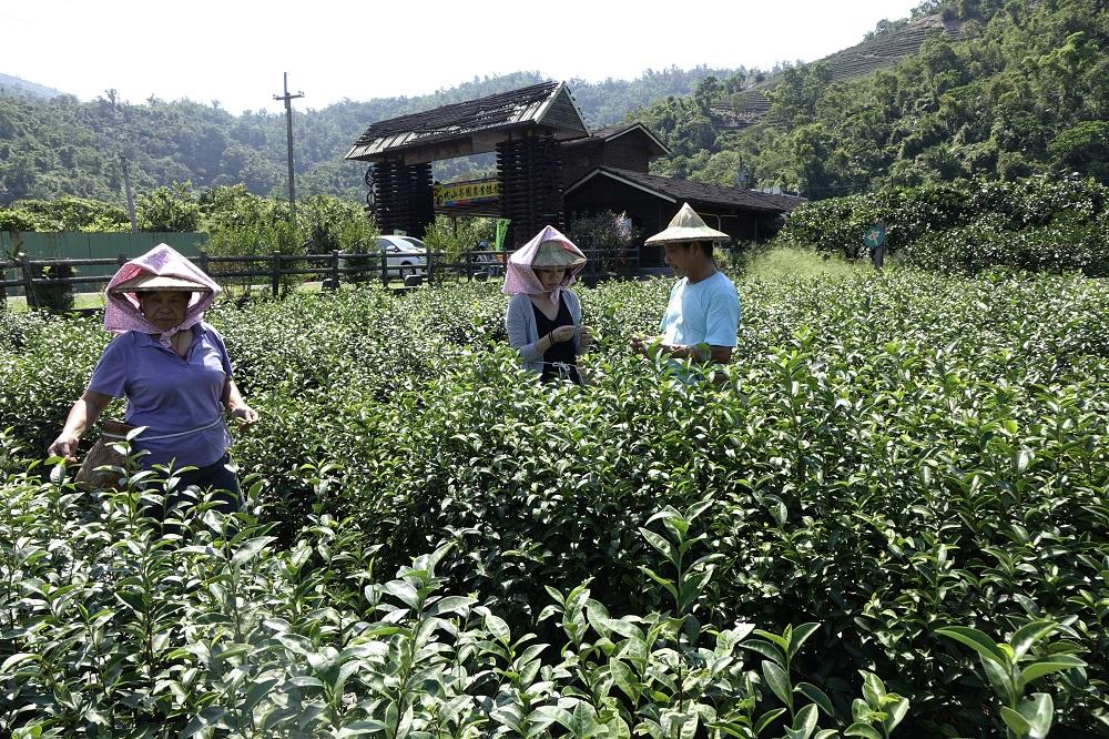 內山茶園/台灣茶文化/宜蘭/台灣
