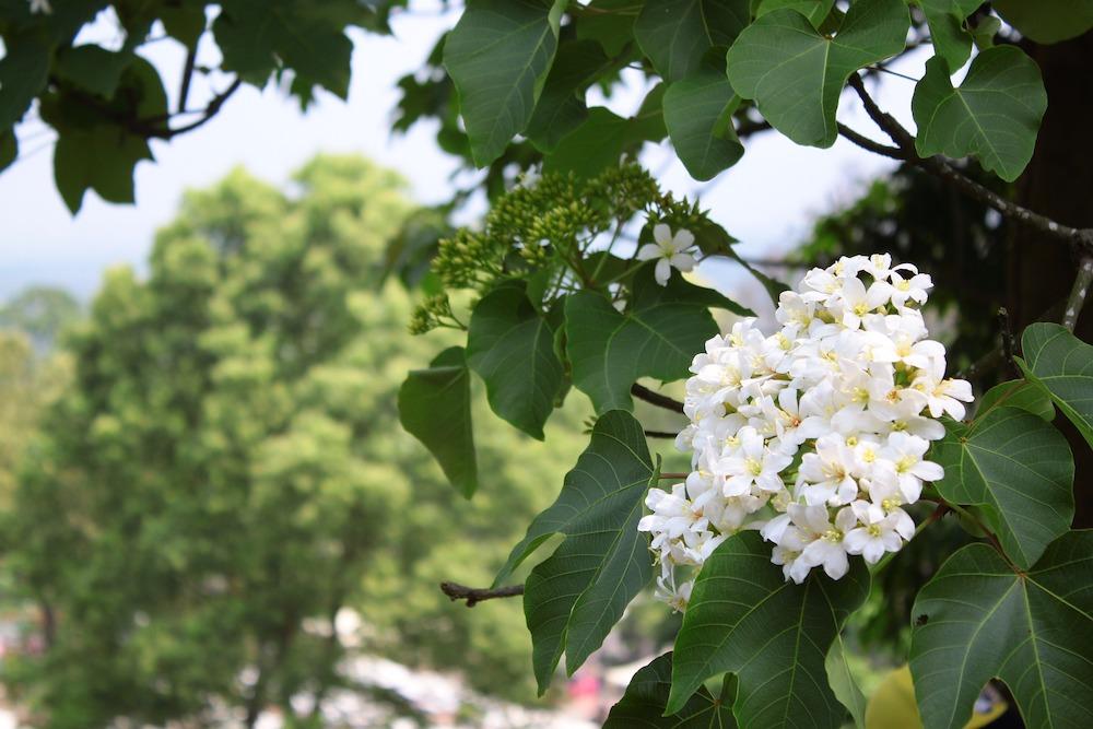 桐花/客家庄/台灣/賞花季/深度旅遊