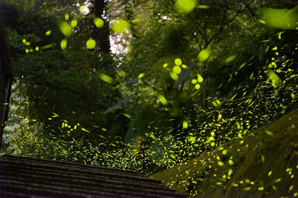 螢火蟲/桃園旅遊/深度旅遊/角板山公園/賞螢