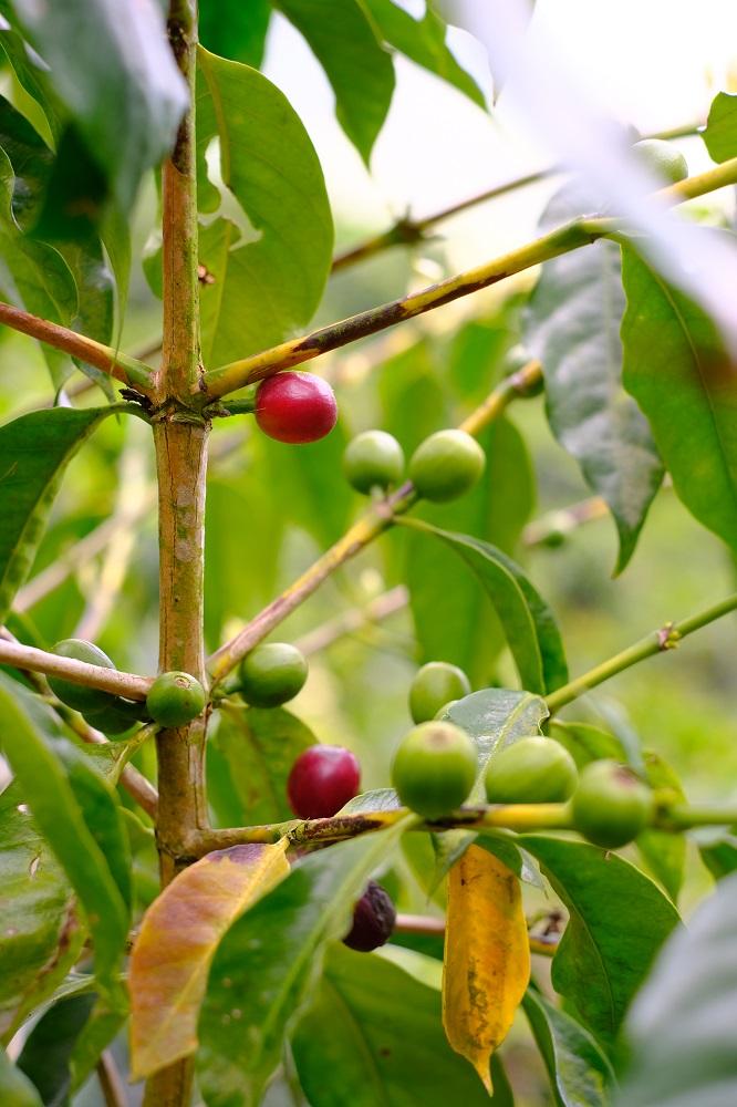 咖啡果/宿瓦納咖啡茶園/樂野部落/阿里山/台灣/深度旅遊