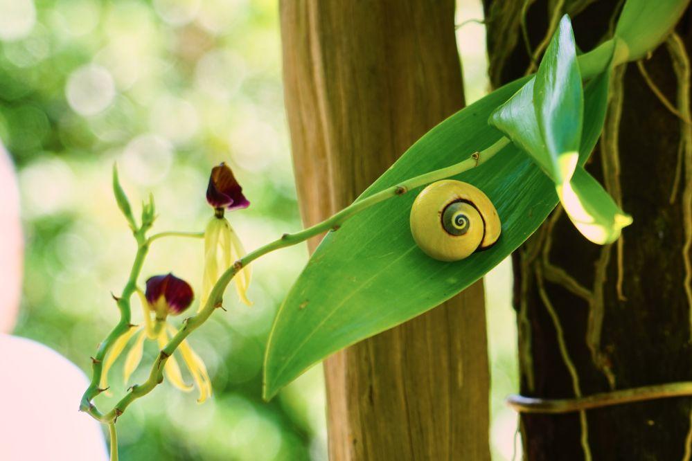 古巴巴拉科阿的彩殼蝸牛