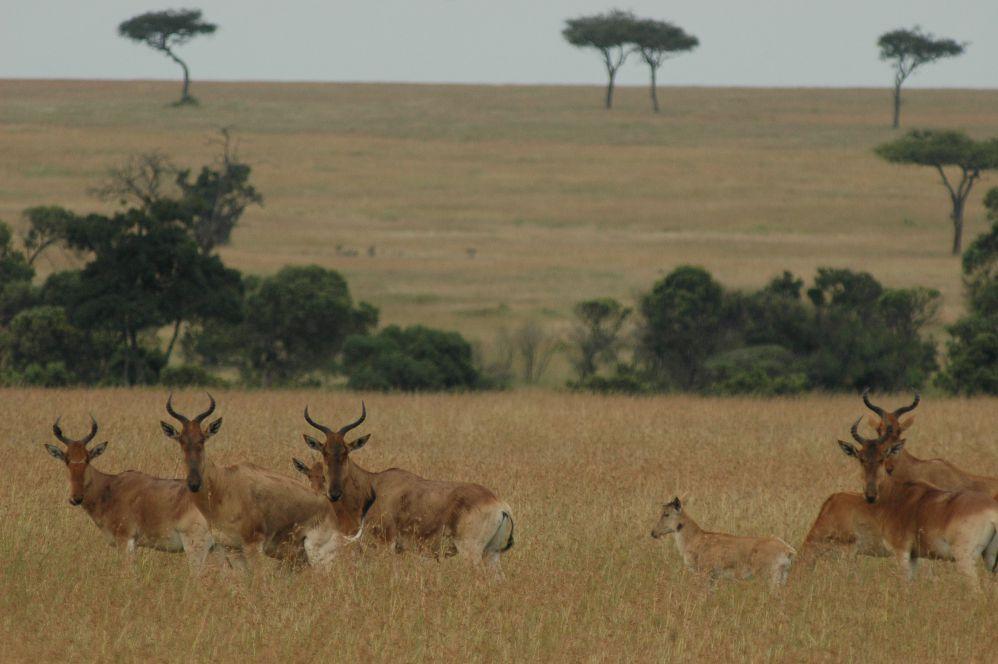 肯亞/馬賽馬拉國家保護區/非洲