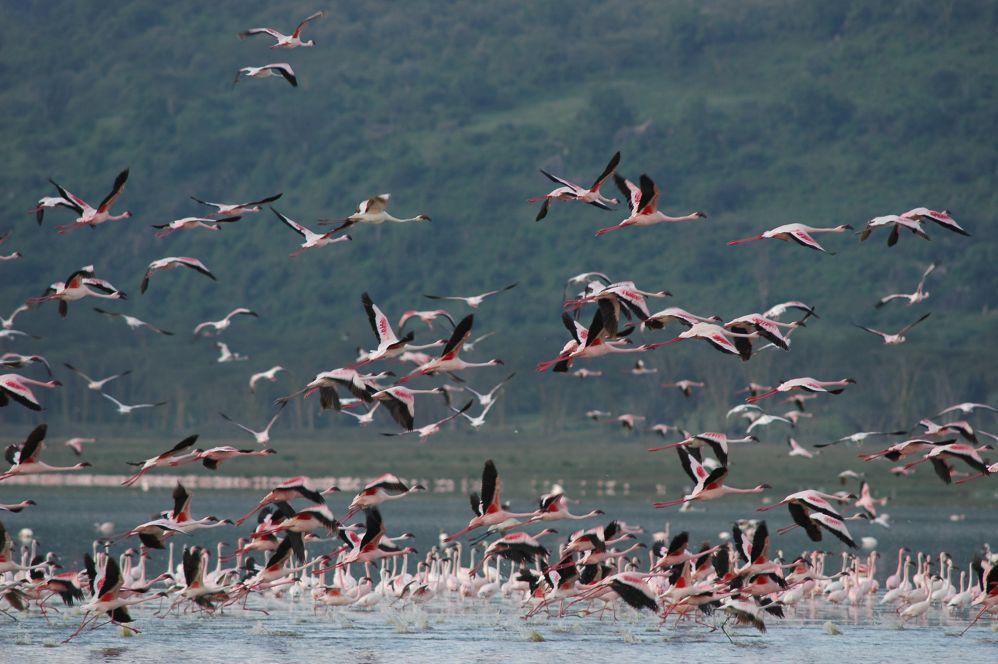 肯亞/納庫魯湖國家公園/非洲