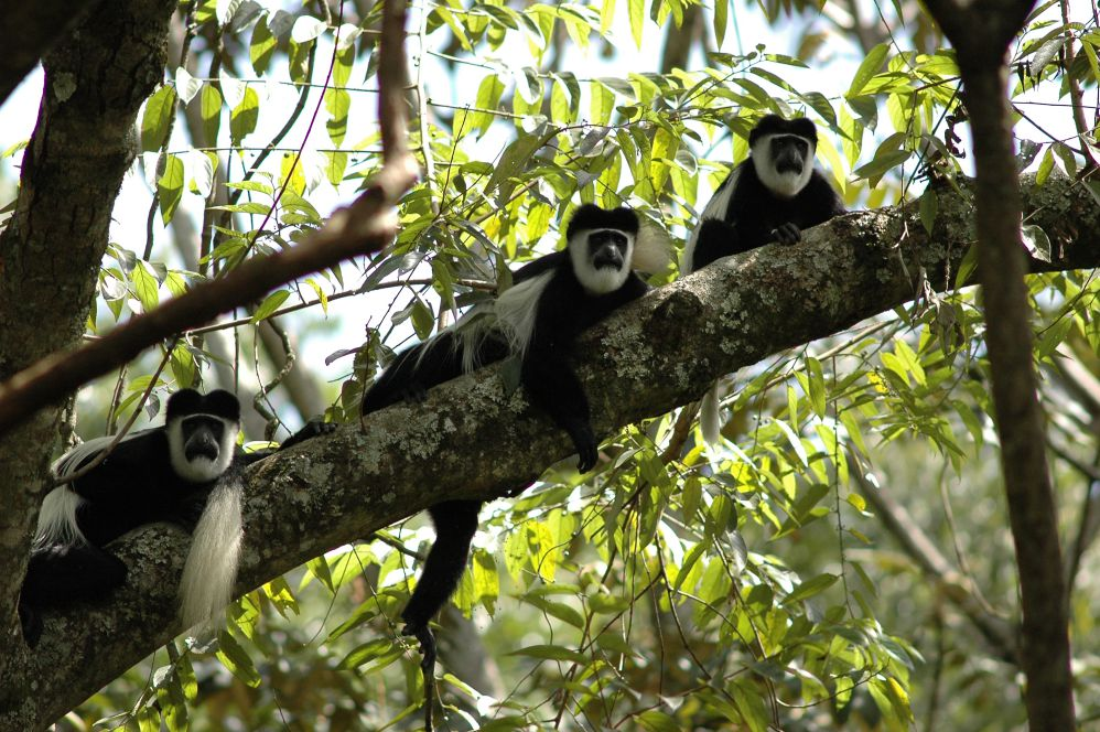 肯亞/卡卡緬加森林/非洲