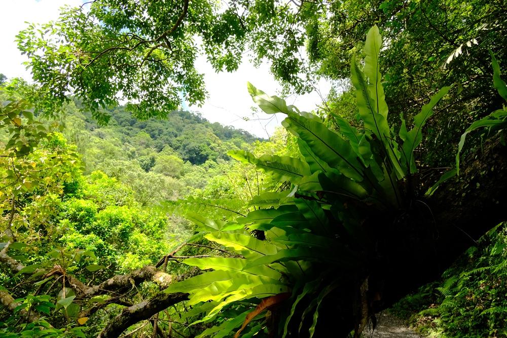 林美山壁上的蕨類、山棕與諸般闊葉樹種