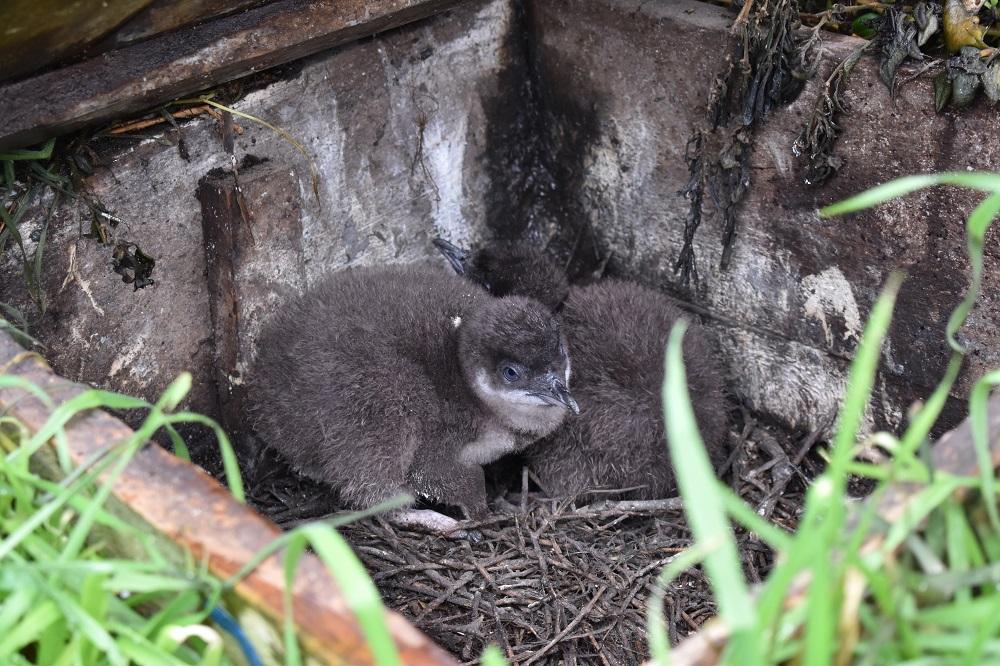菲利普島自然公園/澳洲 /旅遊/企鵝