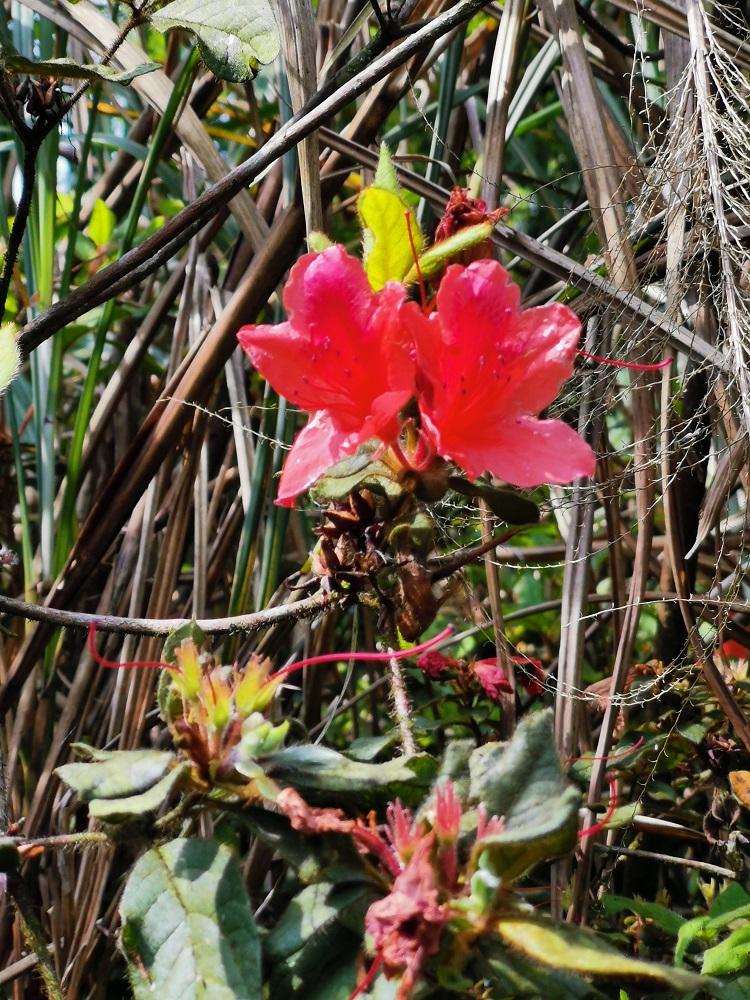 金毛杜鵑花