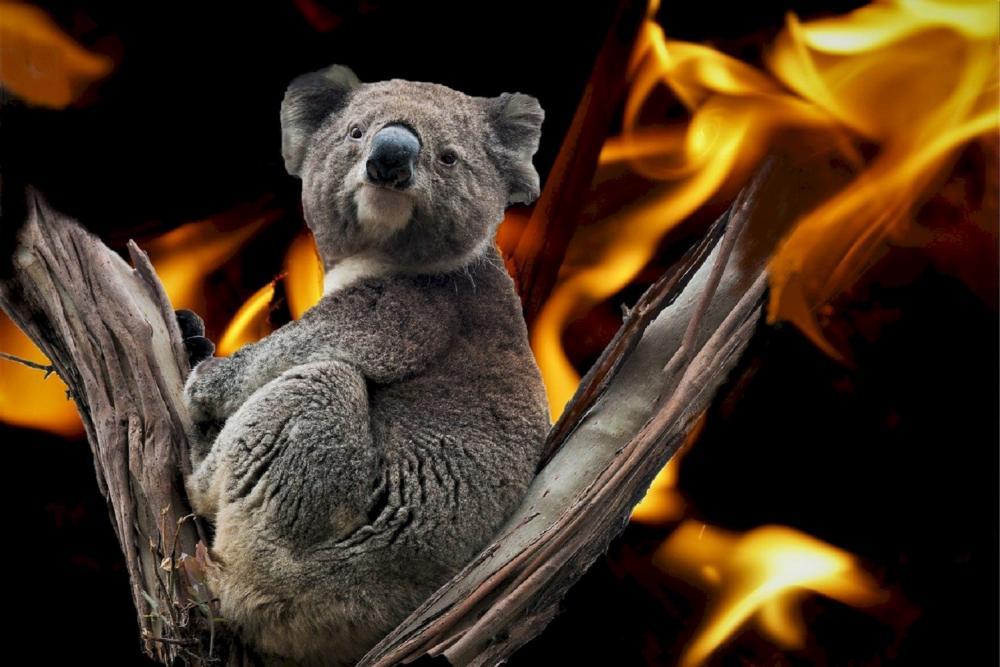 無尾熊/澳洲/瀕危動物