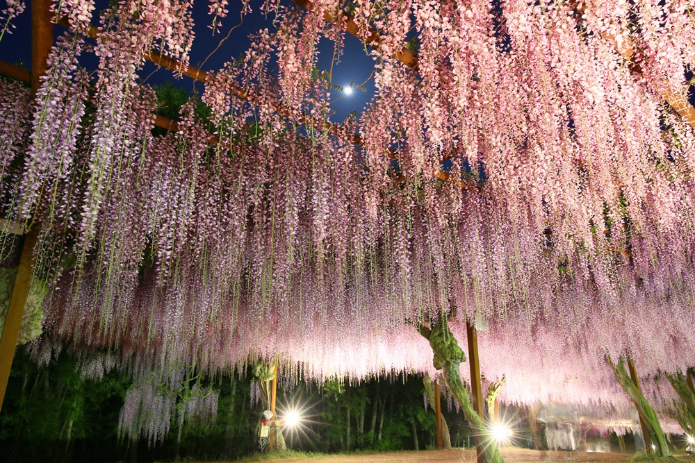 和氣町藤公園紫藤花海/岡山/日本