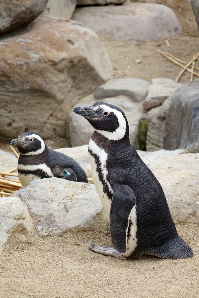 企鵝/海洋生物/須磨海濱水族園/神戶/日本