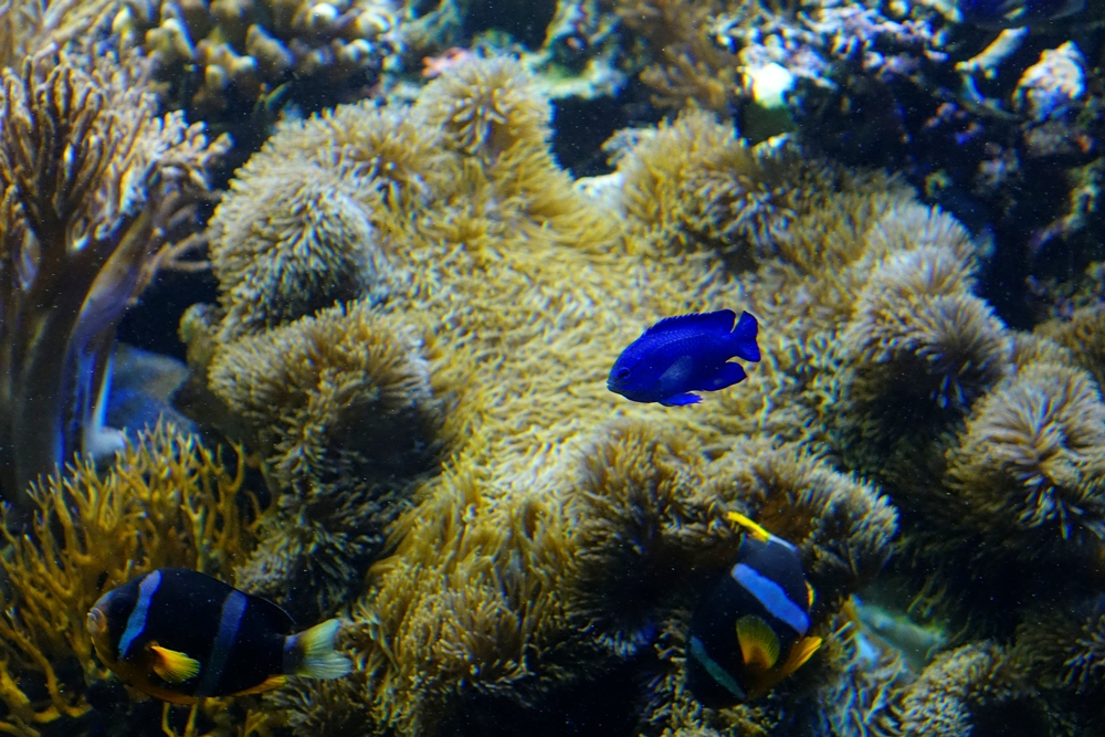 小丑魚/海洋生物/須磨海濱水族園/神戶/日本