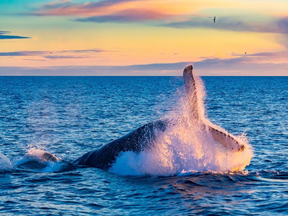 座頭鯨/安納塔拉度假村/私人海灘/巴扎魯托島/東非