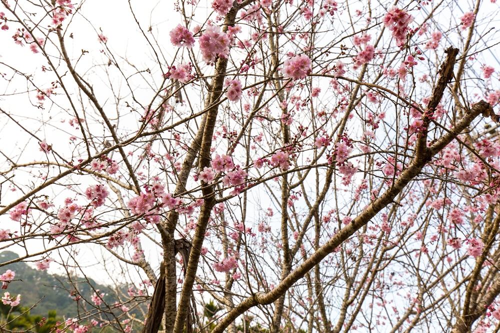 櫻花/春天旅遊/台灣