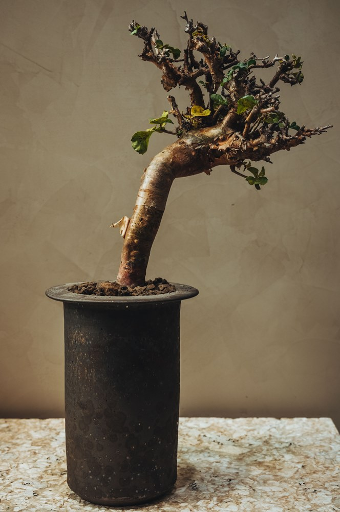 Commiphora Wightii懷特沒藥/盆栽/0343 Conservatory/植栽選物店/
