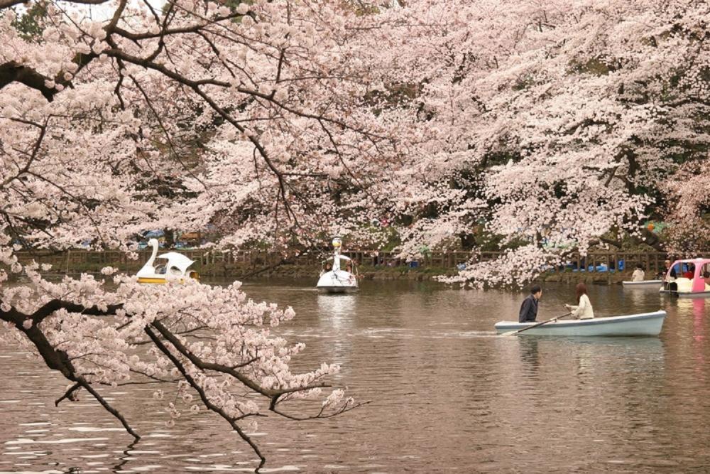 櫻花/東京井之頭恩賜公園/東京/日本