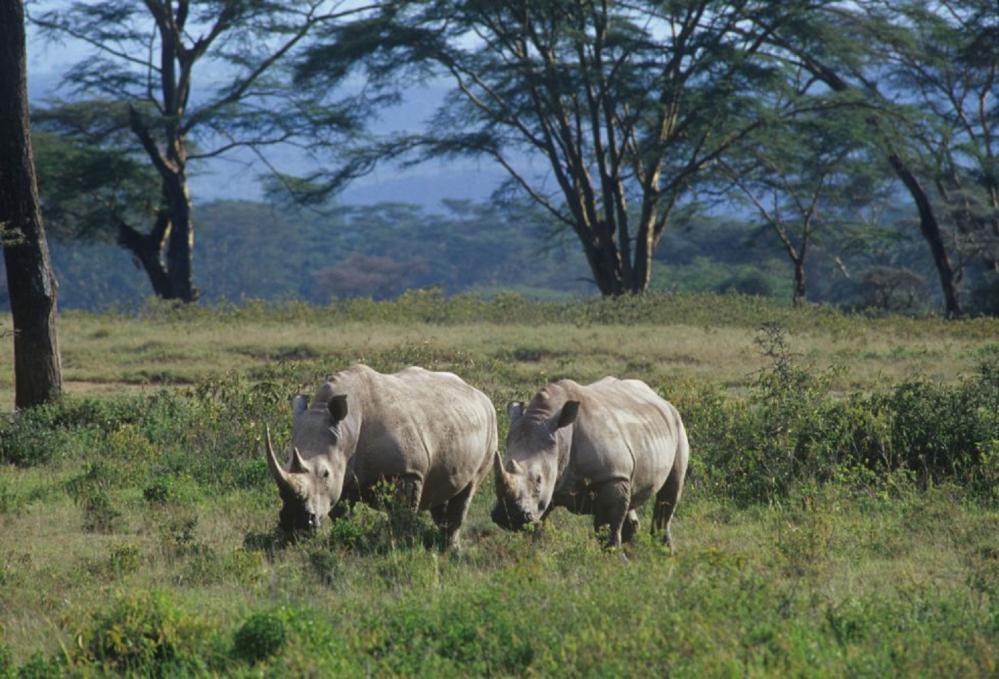 犀牛/大型動物/非洲