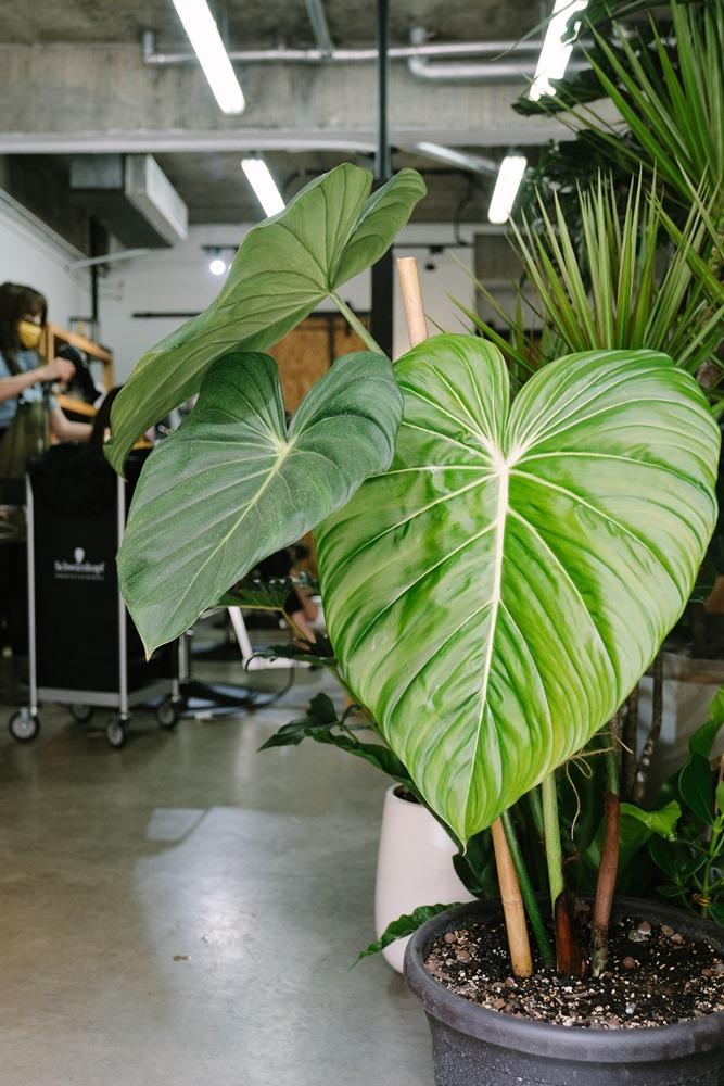 大麥克蔓綠絨/Corner Green植角工作室/植物/創意生活/新竹/台灣